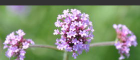 Valerian Root Health Benefits: Insomnia, Anxiety, Stress And Even Cramps And Hot Flashes