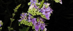 Vitex and Infertility: Chasteberry to Increase Fertility