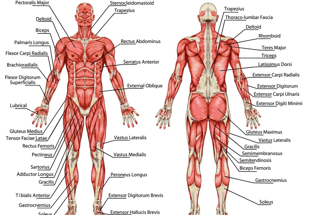 Male Muscular System Anatomy - Full Overview | Workout & Exercises