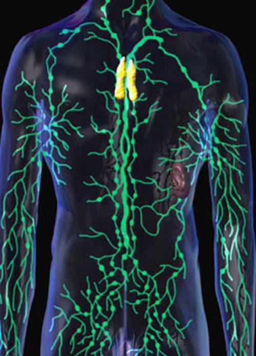 The Function Of Human Lymph Glands Lymphatic Endocrine System