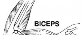 About bicep curls
