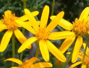 About damiana herb