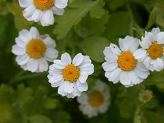 About feverfew uses
