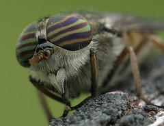 About horsefly trap
