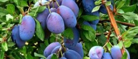 About prunes nutrition