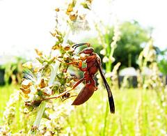 About red wasp