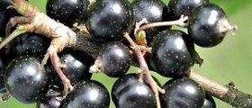 Black currant seed oil benefits