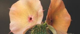 Exposed side effects of hoodia