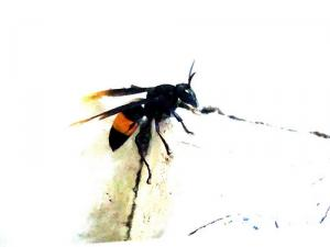 Home remedy for wasp sting
