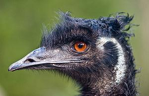 How to buy the best emu oil
