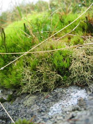 Irish moss benefits