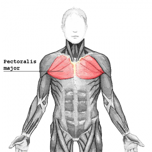 Pectoral muscles facts