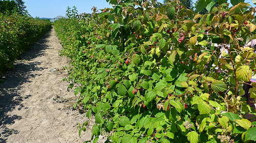 how to prepare raspberry bushes for winter