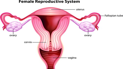shutterstock-female-reproductive-system.