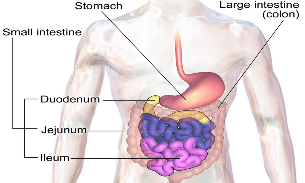 Small bowel anatomy picture