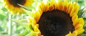 Sunflower oil facts