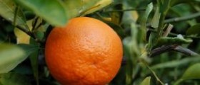 Tangerine calories facts