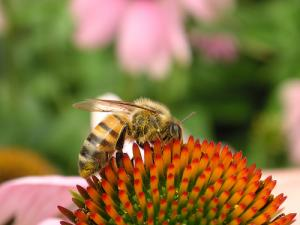 What are the benefits of echinacea
