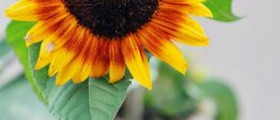 What are the benefits of sunflower seeds